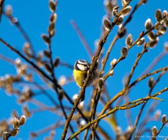 Cyanistes caeruleus Eating a fresh leave on the willowtree-