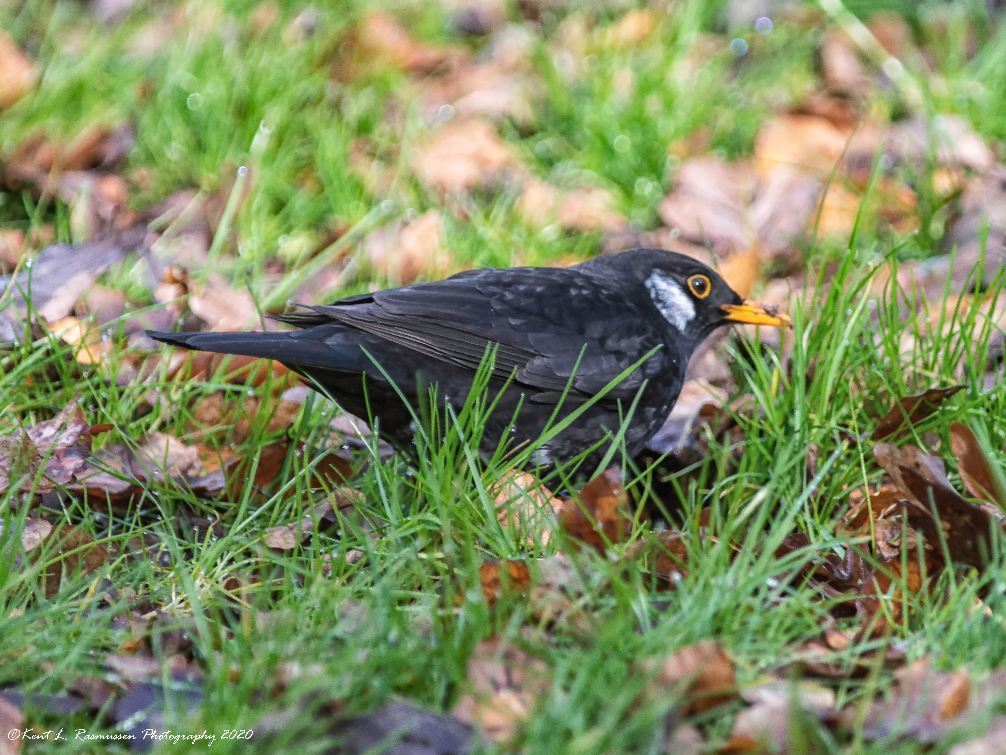Blackbird with white feathers