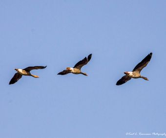 Geese on a clear blue sky